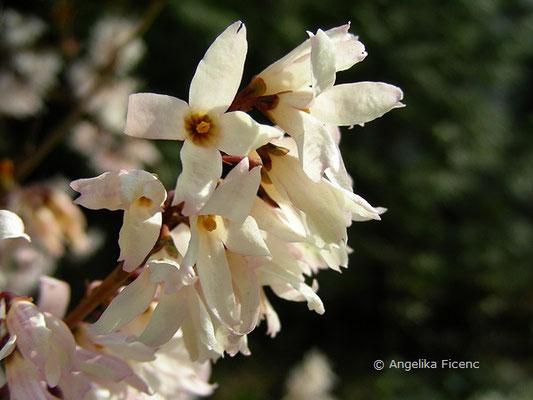 Abeliophyllum distichum - Schneeforsythie  © Mag. Angelika Ficenc