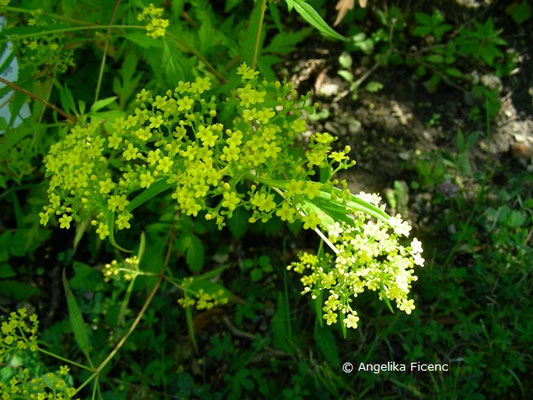 Patrinia heterophylla - Goldbaldrian  © Mag. Angelika Ficenc
