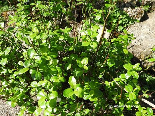 Salix glabra - Glanz-Weide, Habitus, Wuchsform