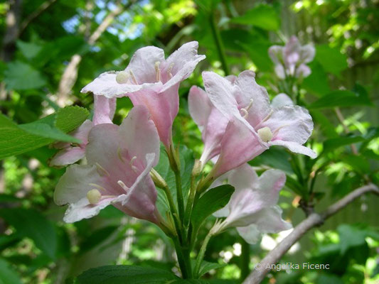 Weigela sp.  © Mag. Angelika Ficenc
