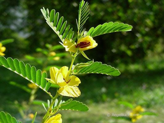 Chamaechrista fasciculata   © Mag. Angelika Ficenc