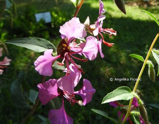 Clarkia unguiculata  © Mag. Angelika Ficenc