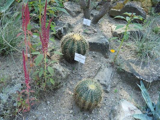 Ferocactus glaucescens - Habitus  © Mag. Angelika Ficenc