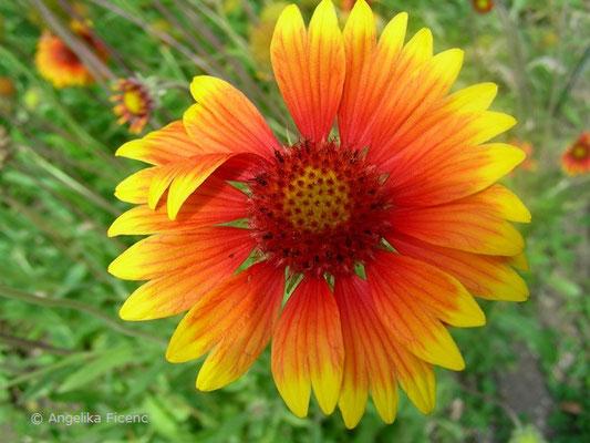 Gaillardia drummondii - Kokardenblume, Blüte Aufsicht