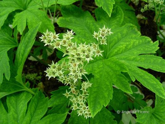 Mucdenia rossii  - Ahornblatt  © Mag. Angelika Ficenc