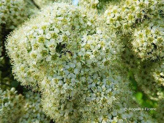 Spirea media - Karparten-Spierstrauch, Blütenstand mit Blüten