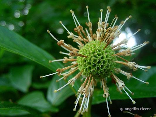 Cephalanthus occidentalis - Button Busch, Blütenstand im Abblühen