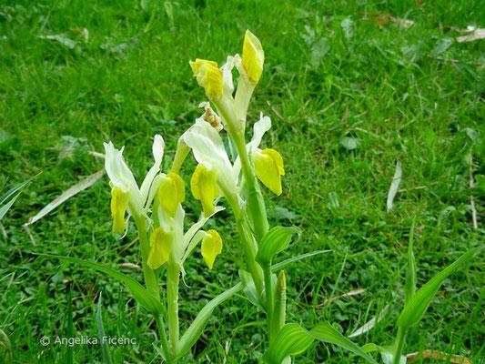 Iris bucharica - Geweih Iris   © Mag. Angelika Ficenc