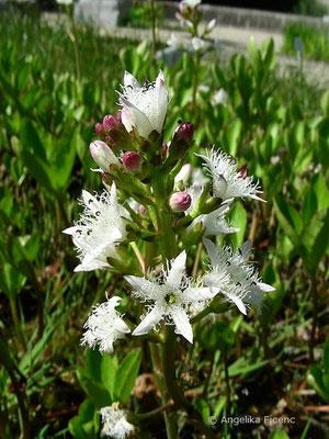 Menyanthes trifolia - Fieberklee  © Mag. Angelika Ficenc