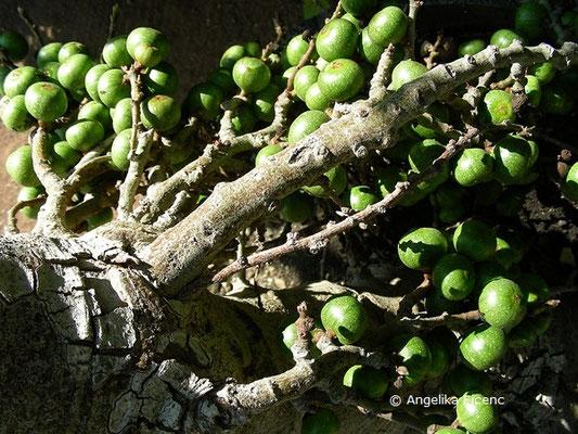 Ficus sur - Kap Feige  © Mag. Angelika Ficenc