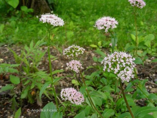 Valeriana montana - Bergbaldrian