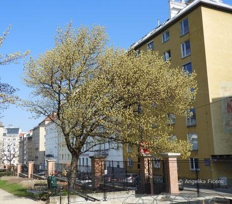Acer negundo ssp. negundo - Eschen Ahorn, Habitus      © Mag. Angelika Ficenc