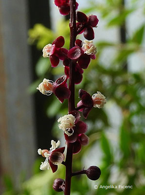 Trichostigma peruvianum   © Mag. Angelika Ficenc