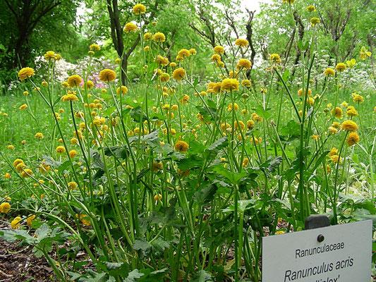 """Ranunculus acris """"Multiplex"""" - Habitus  © Mag. Angelika Ficenc"""