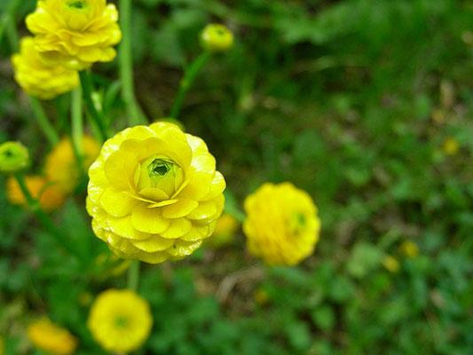 """Ranunculus acris """"Multiplex"""" - Blüte  © Mag. Angelika Ficenc"""
