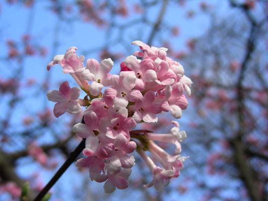 Viburnum x bodnantense (V. farreri x V. grandiflorum)  © Mag. Angelika Ficenc