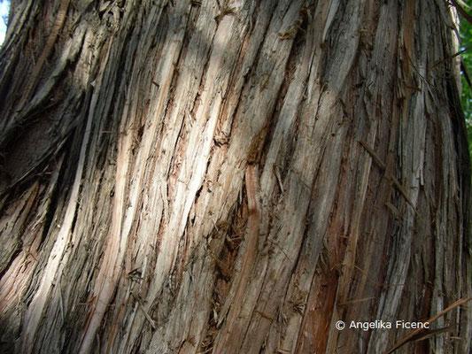 Juniperus excelsa - Kleinasiatischer Baum-Wacholder, Stamm, Borke
