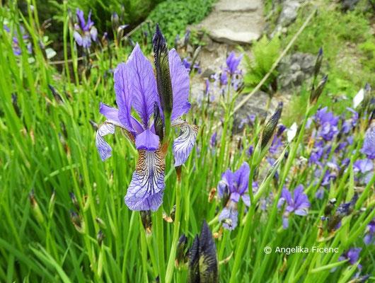 Iris sibirica - Sibirische Schwertlilie, Einzelblüte