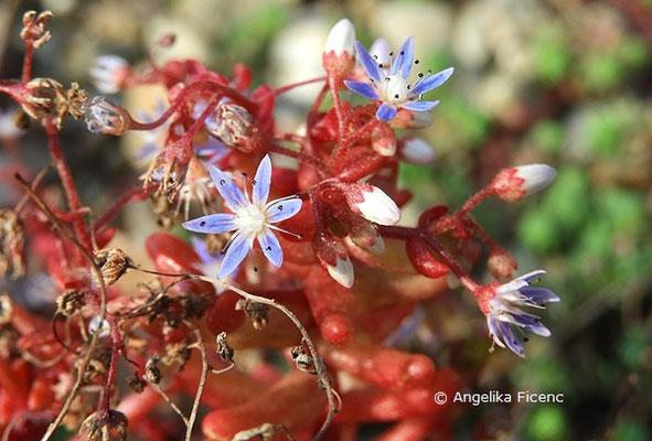 Sedum Caeruleum, Blüte    © Mag. Angelika Ficenc