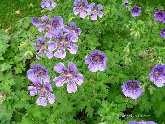 Geranium ibericum - Herzblatt Storchschnabel