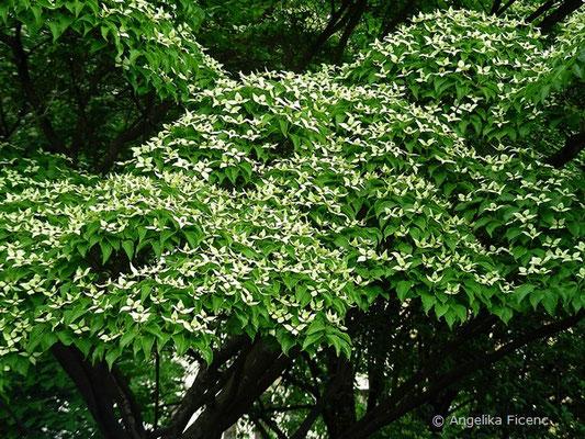 Cornus kousa var. kousa - Japanischer Blumen-Hartriegel,     © Mag. Angelika Ficenc