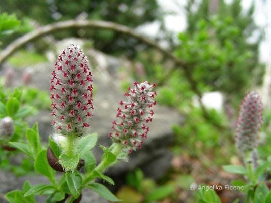 Salix breviserrata - Kurzzahn-Weide  © Mag. Angelika Ficenc