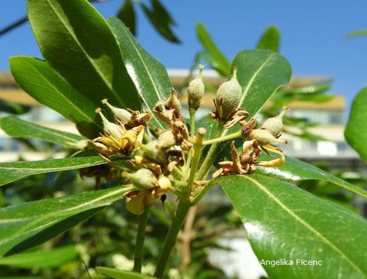 Pittosporum brevicalyx - Klebsame, unreife Früchte  © Mag. Angelika Ficenc