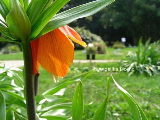 Fritillaria imperialis  © Mag. Angelika Ficenc