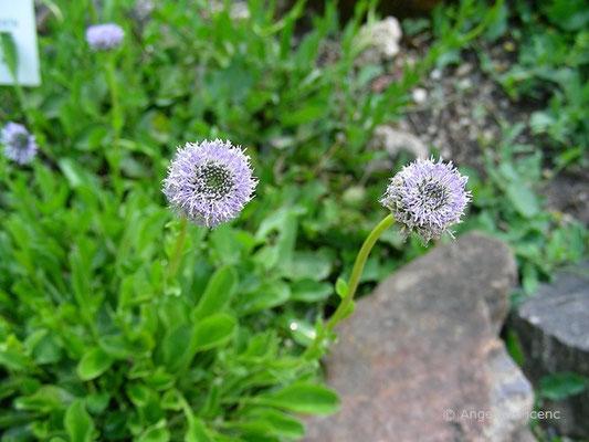 Globularia punctata - Hochstiel Kugelblume