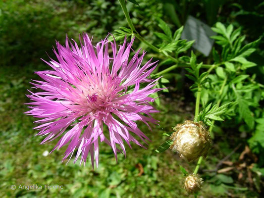 Centaurea dealbata - Zweifärbige Flockenblume