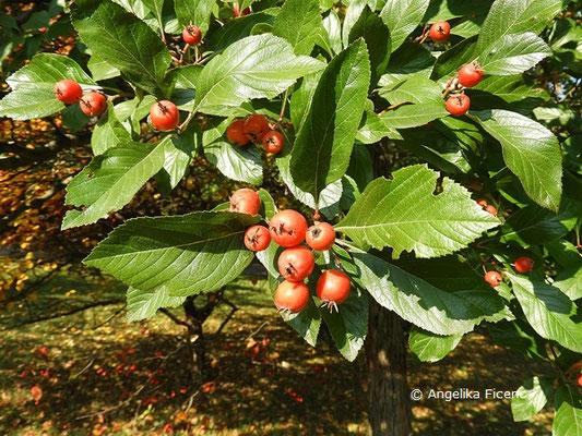 Crataegus x lavallei - Lederblättriger Weißdorn, Früchte  © Mag. Angelika Ficenc