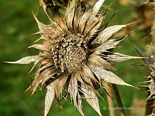Berkheya cisiifolia, Samenstand mit Samen  © Mag. Angelika Ficenc