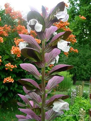 Acanthus mollis - Wahrer Bärenklau, Blütenstand mit Blüten