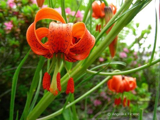 Lilium pomponium - Seealpen Lilie, Einzelblüte  © Mag. Angelika Ficenc