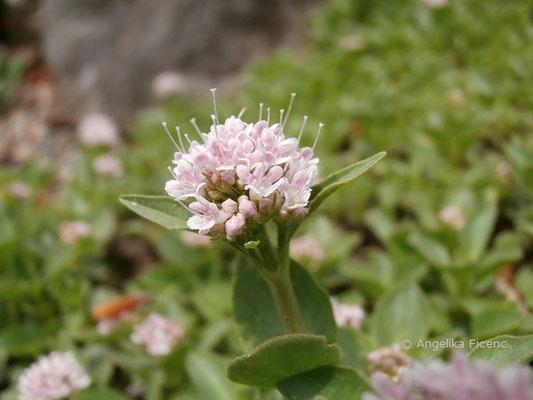 Valeriana supina - Zwergbaldrian