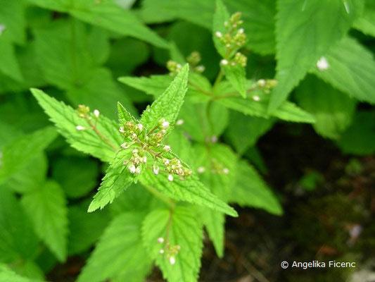Veronica urticifolia  - Nessel-Ehrenpreis, Laubblätter  © Mag. Angelika Ficenc