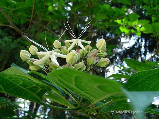 Clerodendrum trichotumum - Japanischer Losstrauch, Blütenstand