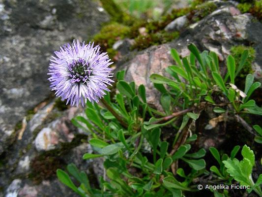 Globularia cordifolia - Herzblatt Kugelblume  © Mag. Angelika Ficenc