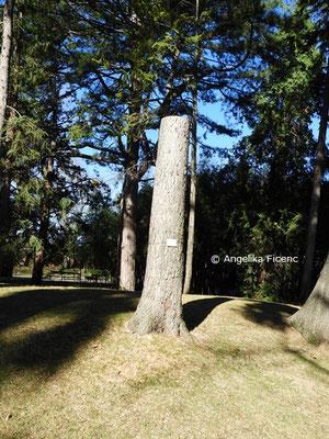 Pinus wallichiana  © Mag. Angelika Ficenc