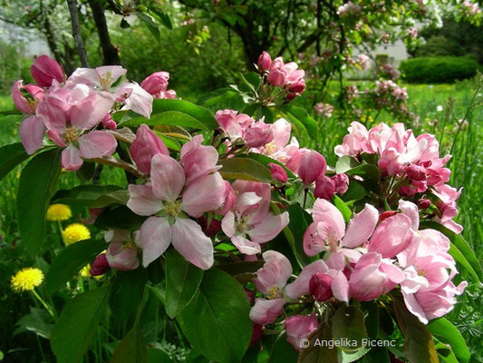 Malus sp. rosa - Apfel  © Mag. Angelika Ficenc