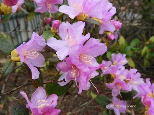 Rhododendron x praecox  © Mag. Angelika Ficenc