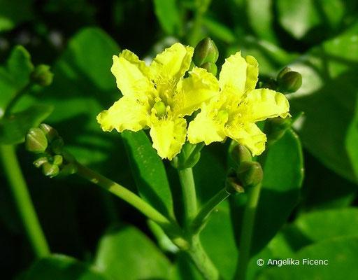 Villarsia exaltata - Villarsie  © Mag. Angelika Ficenc