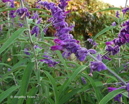 """Salvia leucantha """"Midnight"""" - Strauchiger Salbei,Blütenstand"""