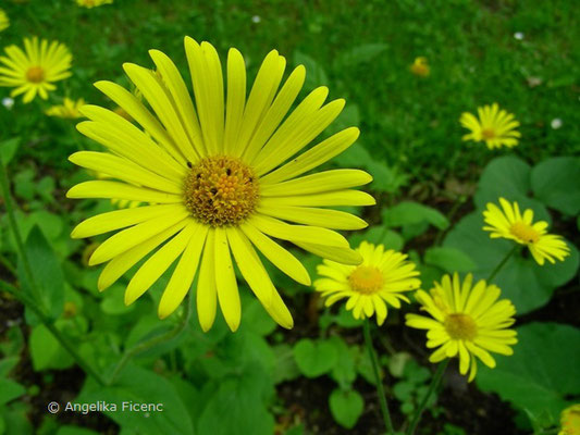 Doronicum pardalianches - Gemswurz,