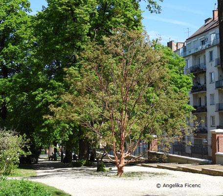 Acer griseum - Zimtahorn, Wuchsform, Habitus      © Mag. Angelika Ficenc