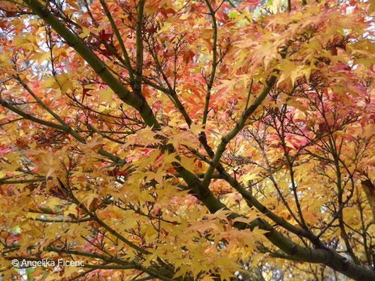 Acer palmatum - Fächerahorn