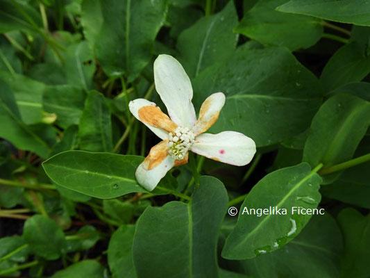 Anemopsis californica  © Mag. Angelika Ficenc
