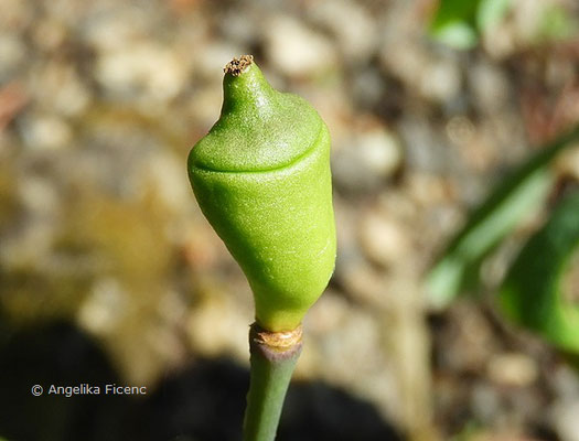 Jeffersonia diphylla, unreife Frucht  © Mag. Angelika Ficenc