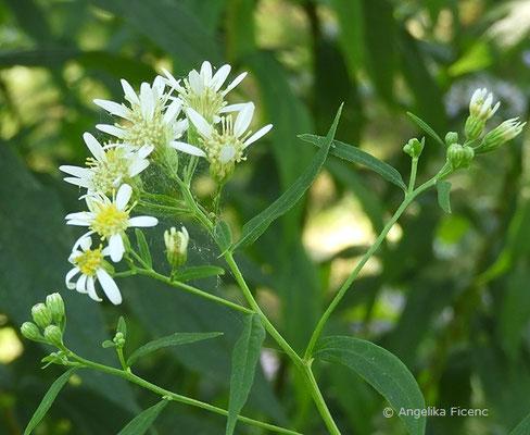 Doelingeria umbellata - Schirm Aster  © Mag. Angelika Ficenc