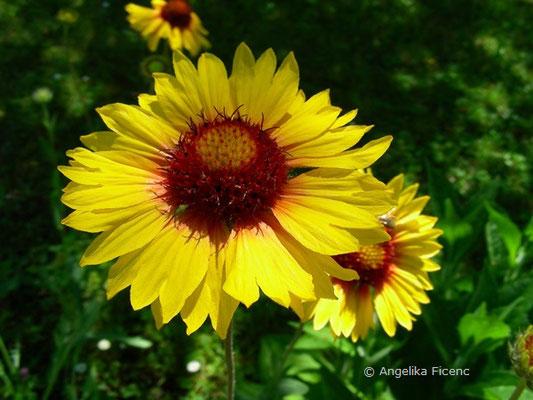 Gaillardia pulchella - Kurzlebige Kokardenblume